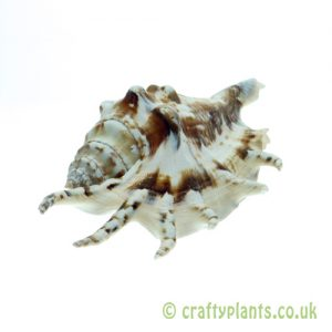 Lambis lambis (spider conch) shell from Craftyplants
