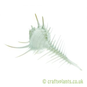 Murex pecten (Venus comb Murex) Shell by craftyplants.co.uk