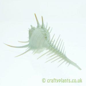 Murex pecten (venus comb murex) shell from Craftyplants