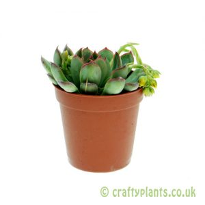 Echeveria 'Hercules' 5.5cm pot from Craftyplants
