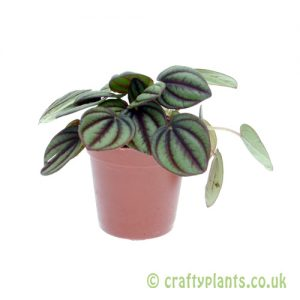 Peperomia piccolo banda 5.5cm pot from Craftyplants