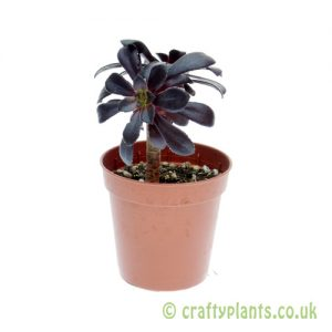 Aeonium arboreum 'schwarzkopf' 5.5cm pot from Craftyplants