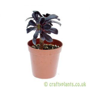 Aeonium arboreum 'schwarzkopf' 5.5cm pot from Craftyplants