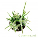 Rhipsalis pilocarpa 5.5cm pot from Craftyplants.co.uk