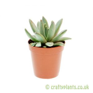 Echeveria hookeri 5.5cm pot from Craftyplants