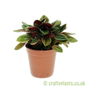 Peperomia caperata 'Rosso' 5.5cm pot from Craftyplants