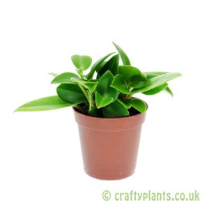 Peperomia 'Smaragd' 5.5cm pot from Craftyplants