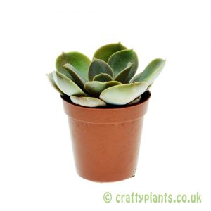 Echeveria 'Perle von Nurnburg' 5.5cm pot from Craftyplants