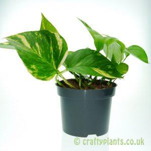 Epipremnum Aureum - Devils Ivy in 12cm pot from Craftyplants
