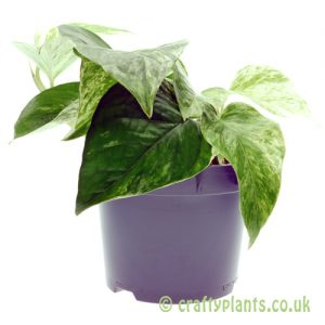 Epipremnum Aureum 'Marble Queen' from craftyplants