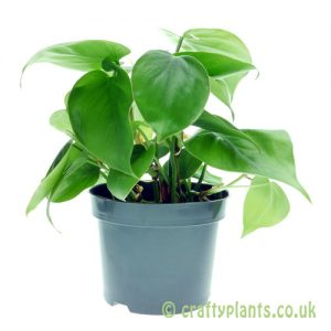 Philodendron Scandens - Heartleaf plant in 12cm pot from Craftyplants