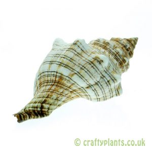Pleuroploca trapezium (Trapezium Horse Conch) shell from Craftyplants