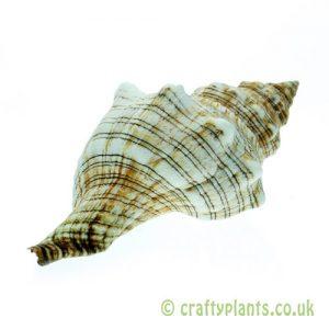 Pleuroploca trapezium (Trapezium Horse Conch) shell from Craftyplants