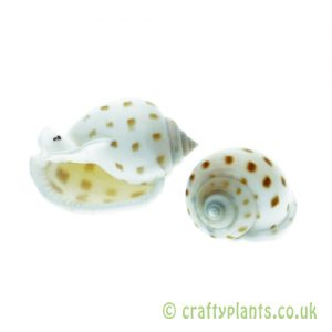Pack of 2 Semicassis bisulcata (Japanese Bonnet) Shells by craftyplants.co.uk