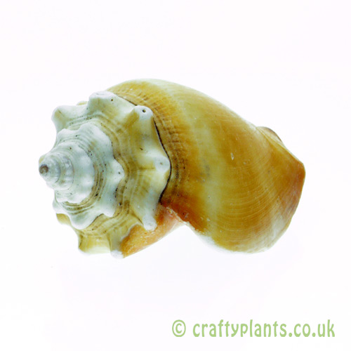 Strombus pugilis (West Indian Fighting Conch) Shell by craftyplants.co.uk