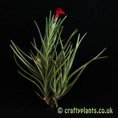 Tillandsia Albertiana clump air plants from Craftyplants