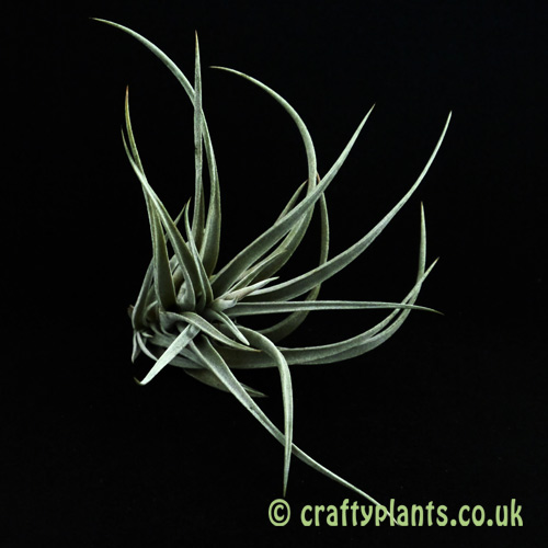 Tillandsia Fresnilloensis from Craftyplants