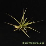 Tillandsia 'Gordon C' (Aeranthos x Tenuifolia)