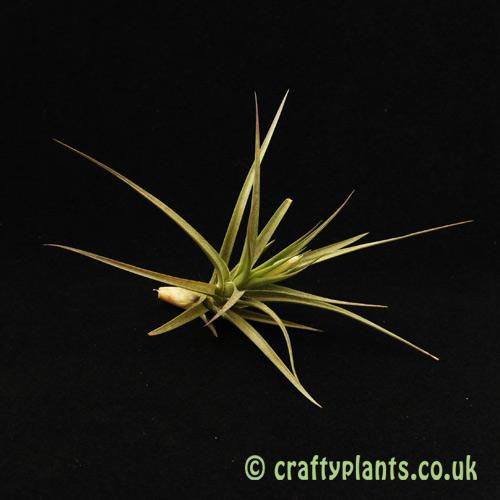 Tillandsia 'Gordon C' (Aeranthos x Tenuifolia) from Craftyplants.co.uk