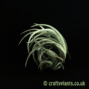 Tillandsia Lorentziana clump air plant from craftyplants