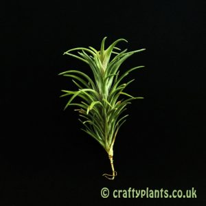 Tillandsia Neglecta Rubra air plant from Craftyplants