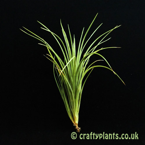 Tillandsia Tenuifolia var Tenuifolia air plant from Craftyplants