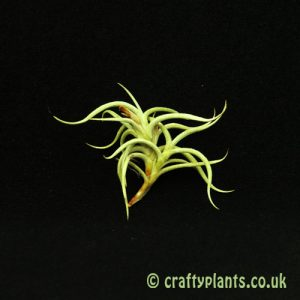 Tillandsia Retorta airplant from Craftyplants