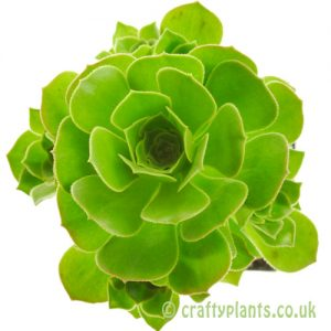 Aeonium arboreum top view by craftyplants