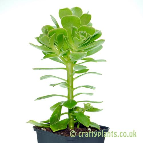 Aeonium arboreum by craftyplants