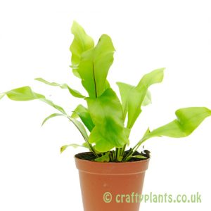 Asplenium Nidus by craftyplants.co.uk