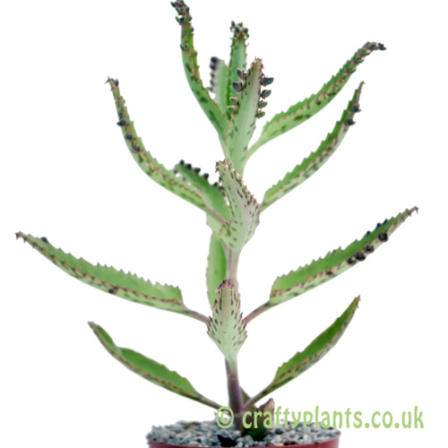 A side on look at Bryophyllium daigremontianum by craftyplants