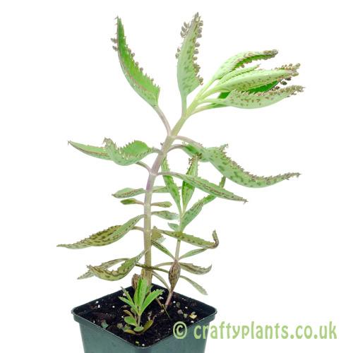 Bryophyllum Diagremontianum by craftyplants