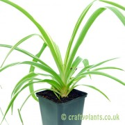 Chlorophytum comosum Spider Plant from craftyplants