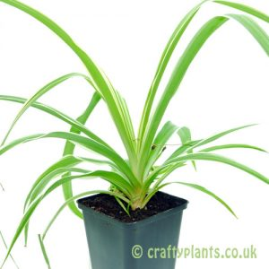 Chlorophytum comosum Spider Plant from craftyplants