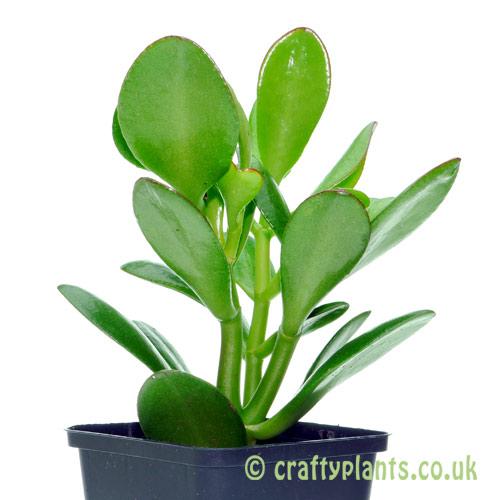Crassula Ovata from craftyplants.co.uk
