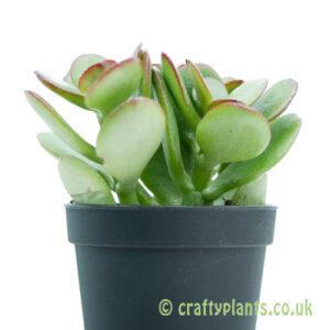 The side profile of Crassula minima by craftyplants