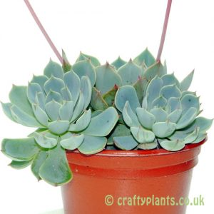 Echeveria secunda var. Glauca by craftyplants