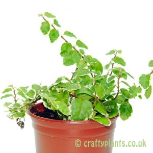Ficus pumilla 'Variegata' - Variegated Creeping Fig by craftyplants