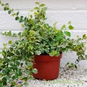 Ficus pumilla 'variegata' by craftyplants