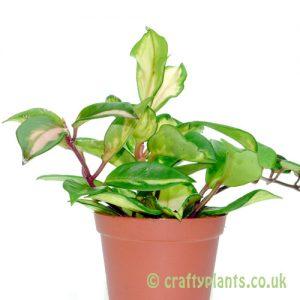 Hoya Carnosa Tricolor from craftyplants