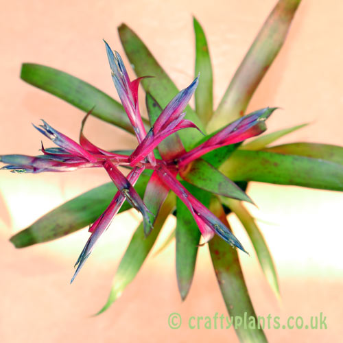 Tillandsia Leiboldiana Mora by craftyplants