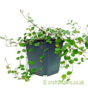 Muehlenbeckia complexa by craftyplants