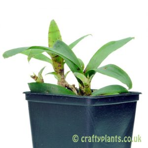 Neoregelia Liliputiana by craftyplants