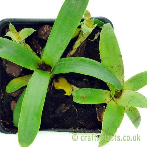 Neoregelia Liliputiana by craftyplants.co.uk