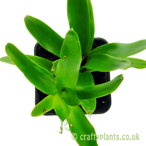 Neoregelia Narciss by craftyplants.co.uk