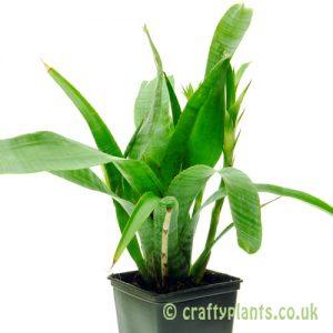 Neoregelia Paucifolia by craftyplants