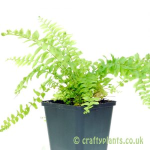 Nephrolepsis exaltata Bostoniensis or Boston Fern from craftyplants