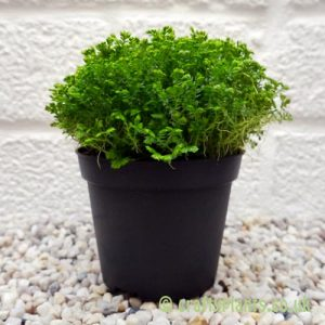 Selaginella Apoda by craftyplants
