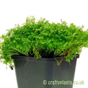 Selaginella 'Apoda' Meadow Spike Moss by craftyplants