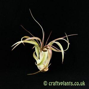 Tillandsia 'Eric Knobloch' (Brachycaulos x Streptophylla) from Craftyplants